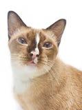 Porträt der thailändischen Katze. Lizenzfreie Stockfotografie
