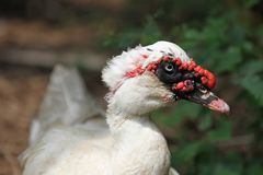 Porträt der weißen Ente Stockbilder
