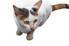 Porträt der weißen, gelben Katze der getigerten Katze lokalisiert auf weißem Hintergrund Über Weiß Lizenzfreie Stockfotos