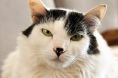 Porträt der weißen Katze und seiner Schnauze stockfotografie