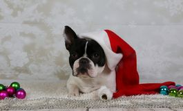 Porträt der Weihnachtsfranzösischen Bulldogge stockbild
