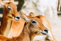 Porträt der wilden Antilope lizenzfreies stockbild