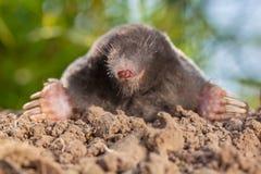 Porträt der wilden Mole auf einem Maulwurfshügel lizenzfreies stockfoto