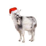 Porträt der Ziege im Weihnachtshut auf Weiß Lizenzfreies Stockbild