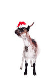 Porträt der zwergartigen Ziege im Weihnachtshut auf Weiß Lizenzfreie Stockbilder