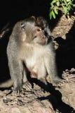 Porträt des Affemannes sitzend auf der Steinoberfläche und durch Morgenlicht erleuchten stockfotos