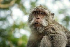 Porträt des Affen im Uluwatu Stockfotografie