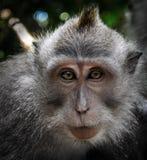 Porträt des Affen (langschwänziger Makaken) Lizenzfreie Stockbilder