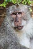 Porträt des Affen Lizenzfreies Stockbild