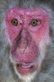 Porträt des Affen mit einem Überraschungsausdruck Stockbilder
