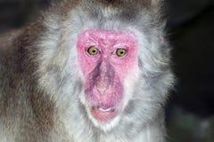 Porträt des Affen mit einem Überraschungsausdruck Stockfoto