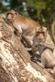 Porträt des Affen sitzend auf Baum (Macaca Fascicularis). Lizenzfreies Stockfoto