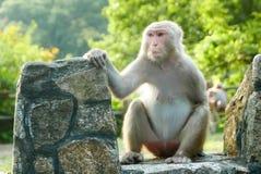 Porträt des Affen sitzt auf dem Felsen Stockbild