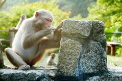 Porträt des Affen sitzt auf dem Felsen Stockfoto