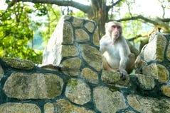 Porträt des Affen sitzt auf dem Felsen Lizenzfreies Stockbild