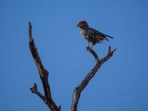 Porträt des afrikanischen braunen Schlangenadlers, der über der Schulter sitzt auf totem Baum mit blauem Himmel, Moremi NP, Botsw Lizenzfreies Stockbild