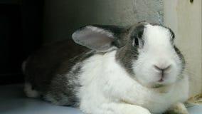Porträt des alten Kaninchenrestes und -nase ist Gesamtlänge der Geige 4k stock video footage
