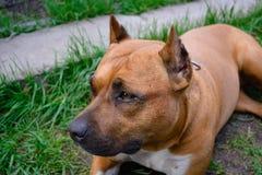 Porträt des American Staffordshire Terriers im Freien Stockfotos