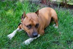 Porträt des American Staffordshire Terriers im Freien Stockbild