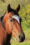 Porträt des amerikanischen Quarterhorsen, Rocky Mountains, Colorado Lizenzfreie Stockfotos