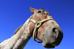 Porträt des amerikanischen Quarterhorsen, Rocky Mountains, Colorado Stockbild