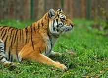 Porträt des Amur-Tigers Stockfotografie