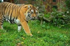 Porträt des Amur-Tigers Stockfotos