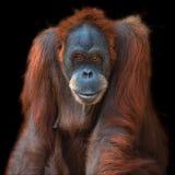 Porträt des asiatischen Orang-Utans auf schwarzem Hintergrund Stockbild