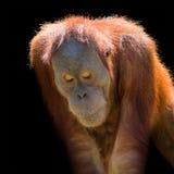 Porträt des asiatischen Orang-Utans auf schwarzem Hintergrund Lizenzfreies Stockbild