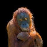 Porträt des asiatischen Orang-Utans und des Babys auf schwarzem Hintergrund Lizenzfreie Stockfotografie