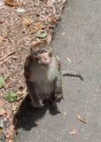 Porträt des asiatischen reifen männlichen Affen, der auf einem Straßenrand steht Lizenzfreie Stockfotos