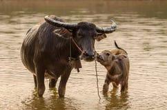Porträt des Asien-Wasserbüffels oder des Kerabaus Lizenzfreies Stockbild
