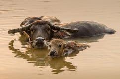 Porträt des Asien-Wasserbüffels oder des Kerabaus stockbild
