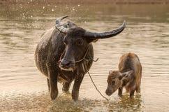 Porträt des Asien-Wasserbüffels oder des Kerabaus Stockbilder
