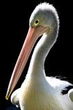 Porträt des australischen Pelikans Stockfotografie