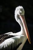 Porträt des australischen Pelikans lizenzfreie stockfotografie