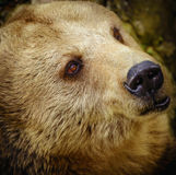 Porträt des Bären Stockbilder
