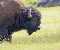 Porträt des Büffels Stockbilder