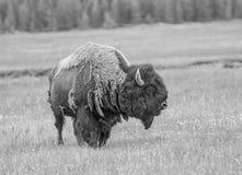 Porträt des Büffels Lizenzfreies Stockfoto