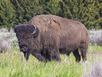Porträt des Büffels Stockbild