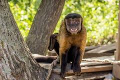 Porträt des büscheligen Capuchin auf einem Baumhaus, welches die Kamera betrachtet stockbilder