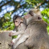 Porträt des Babyaffen und -mutter am heiligen Affewald in Ubud, Bali, Indonesien Lizenzfreie Stockfotografie