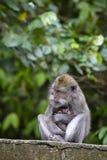 Porträt des Babyaffen und -mutter am heiligen Affewald in Ubud, Bali, Indonesien Abschluss oben Lizenzfreies Stockfoto