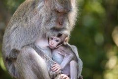 Porträt des Babyaffen und -mutter am heiligen Affewald in Ubud, Bali, Indonesien Abschluss oben Lizenzfreie Stockfotografie