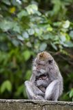 Porträt des Babyaffen und -mutter am heiligen Affewald in Ubud, Bali, Indonesien Abschluss oben Stockfotos