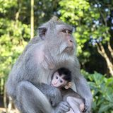 Porträt des Babyaffen und -mutter am heiligen Affewald in Ubud, Bali, Indonesien Abschluss oben Lizenzfreies Stockbild