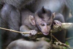 Porträt des Babyaffen und -mutter am heiligen Affewald in Ubud, Insel Bali, Indonesien Lizenzfreie Stockbilder