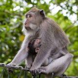 Porträt des Babyaffen und -mutter am heiligen Affewald in Ubud, Insel Bali, Indonesien Stockfoto