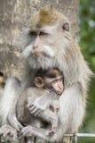 Porträt des Babyaffen und -mutter am heiligen Affewald in Ubud, Insel Bali, Indonesien Stockbild