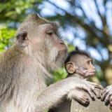 Porträt des Babyaffen und -mutter am heiligen Affewald in Ubud, Insel Bali, Indonesien Lizenzfreies Stockbild